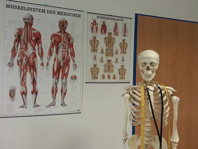muscular system poster and a skeleton model